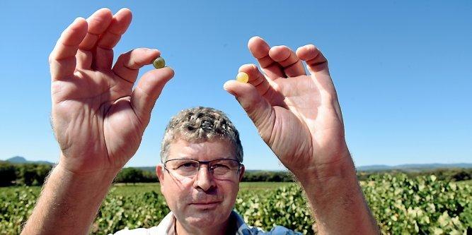 Hérault : l'histoire de la clairette racontée par le vigneron Charles Pacaud